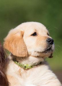 gundog puppy obedience training