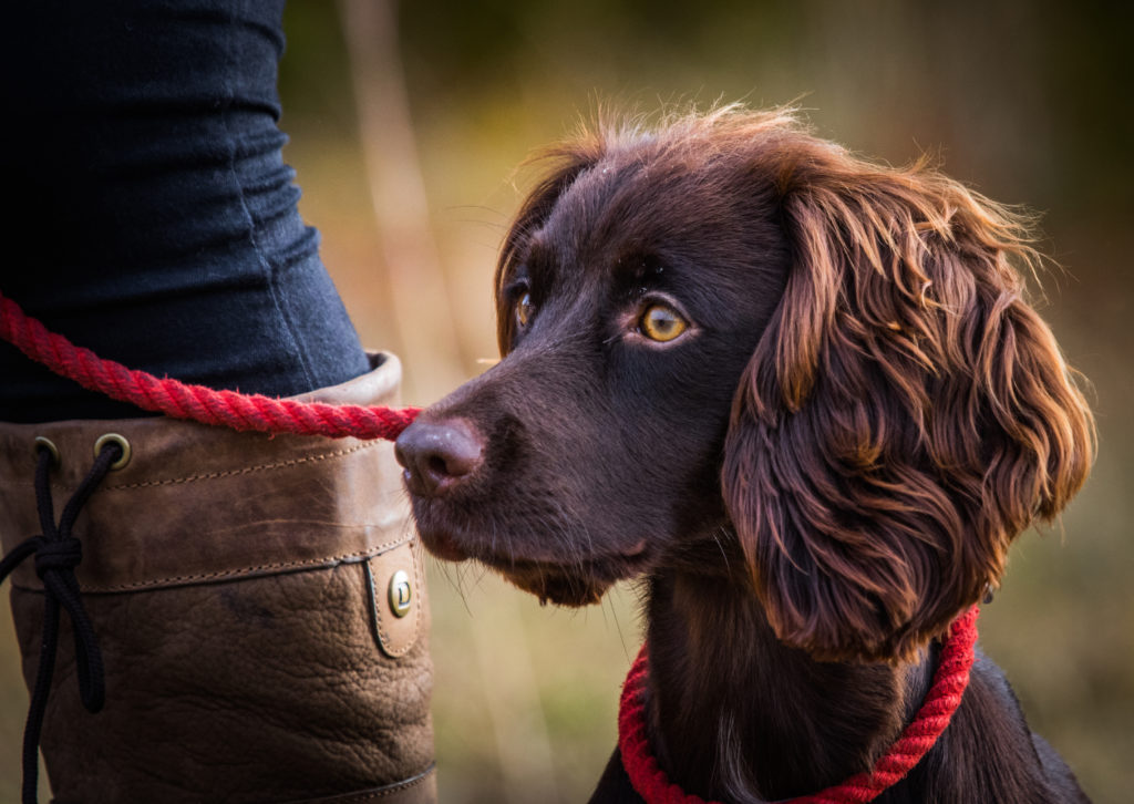 intermediate gundog training class letchworth herts beds cambridge