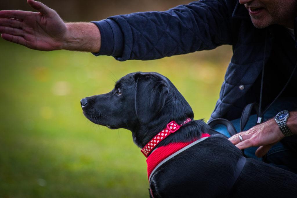 Beginner gundog training in royston herts beds cambridge